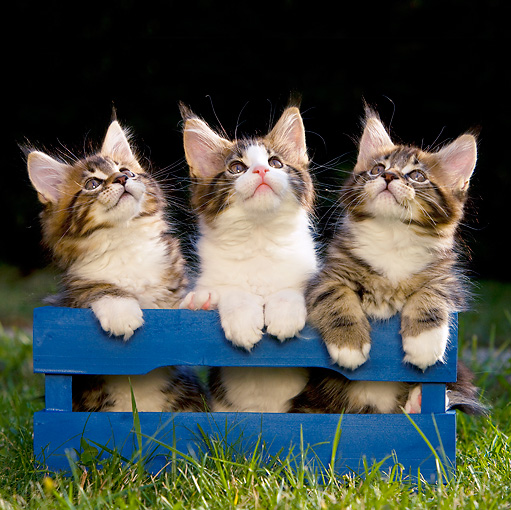 CAT 03 KH0249 01 © Kimball Stock Three Maine Coon Kittens Sitting In Blue Crate On Grass Looking Up