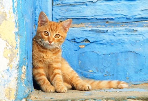 CAT 03 KH0250 01 © Kimball Stock Orange Tabby Greek Island Kitten Leaning On Blue Wall