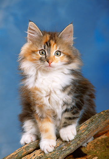 CAT 03 KH0255 01 © Kimball Stock Norwegian Forest Kitten Sitting On Log In Studio