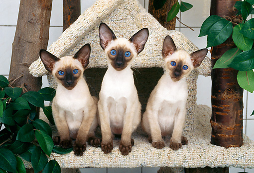 CAT 03 KH0258 01 © Kimball Stock Three Siamese Kittens Sitting In Tree House
