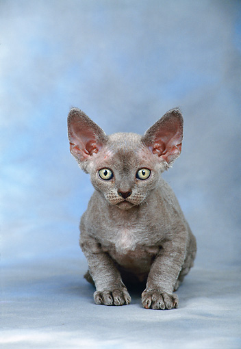 CAT 03 KH0260 01 © Kimball Stock Devon Rex Kitten Sitting In Studio
