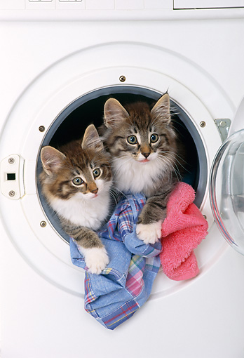 CAT 03 KH0262 01 © Kimball Stock Two Norwegian Forest Kittens Hanging Out Of Washing Machine