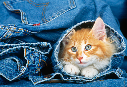 CAT 03 KH0265 01 © Kimball Stock Orange Norwegian Forest Cat Kitten Peeking Head Out Of Blue Jeans