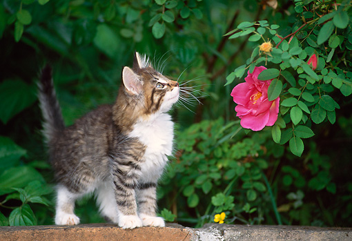 CAT 03 KH0266 01 © Kimball Stock Norwegian Forest Cat Kitten Standing On Brick Wall Looking Up