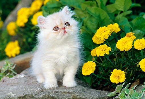 CAT 03 KH0269 01 © Kimball Stock White Peke-Faced Persian Kitten Sitting On Rock By Yellow Flowers