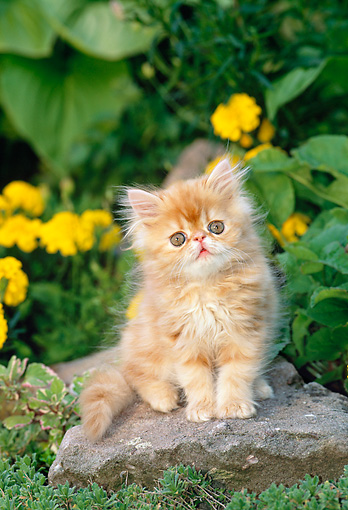 CAT 03 KH0270 01 © Kimball Stock Orange Peke-Faced Persian Kitten Sitting On Rock By Yellow Flowers