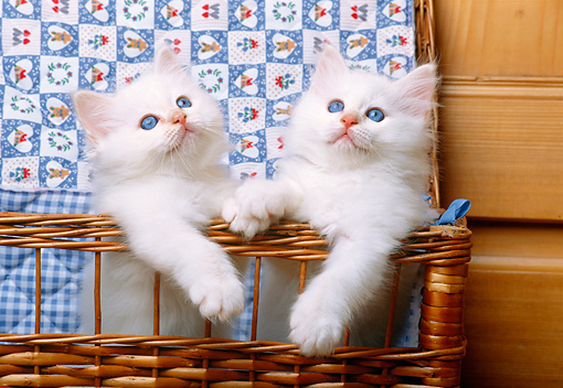 CAT 03 KH0272 01 © Kimball Stock Birman Kittens Standing In Wicker Basket With Quilt