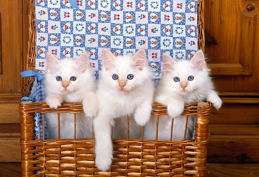 CAT 03 KH0273 01 © Kimball Stock Birman Kittens Standing In Wicker Basket With Quilt