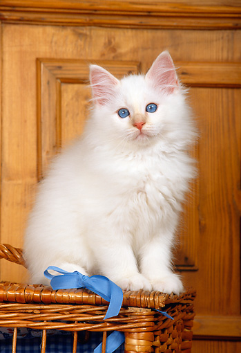 CAT 03 KH0274 01 © Kimball Stock Birman Kitten Sitting On Wicker Basket