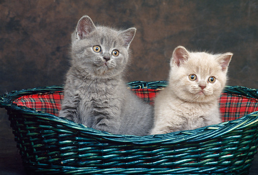 CAT 03 KH0277 01 © Kimball Stock Two British Shorthair Kittens Sitting In Quilted Basket In Studio