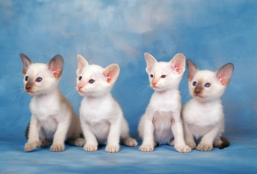 CAT 03 KH0279 01 © Kimball Stock Siamese Kittens Sitting In A Row In Studio