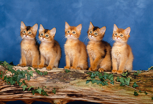 CAT 03 KH0280 01 © Kimball Stock Somali Kittens Sitting In A Row On Log In Studio