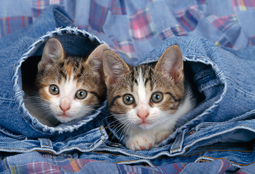 CAT 03 KH0282 01 © Kimball Stock Tabby Kittens Peeking Out Of Blue Jeans