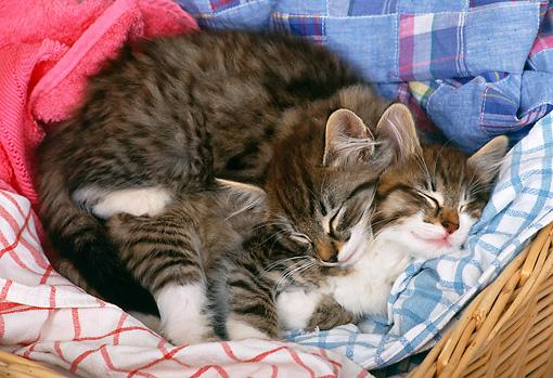tabby kittens sleeping in laundry basket kimballstock