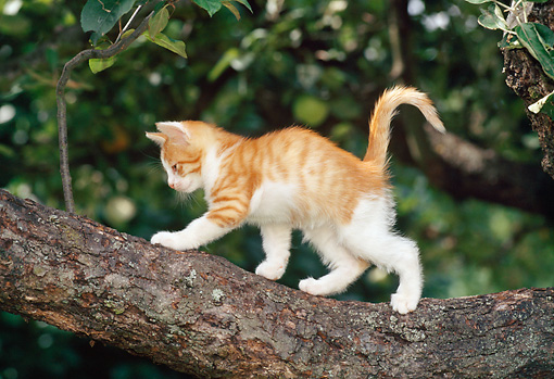CAT 03 KH0285 01 © Kimball Stock Tabby Kitten Walking On Tree Branch Profile