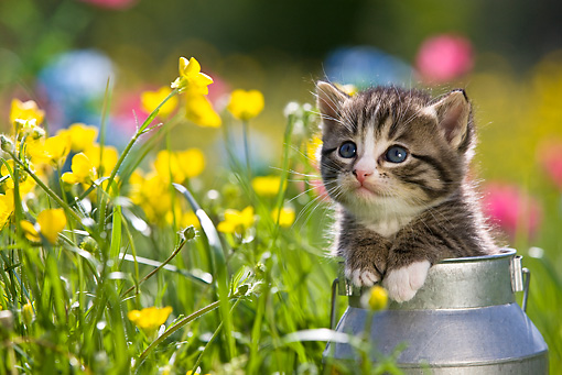CAT 03 KH0286 01 © Kimball Stock Tabby Kitten Sitting In Tin Milk Can By Yellow Flowers