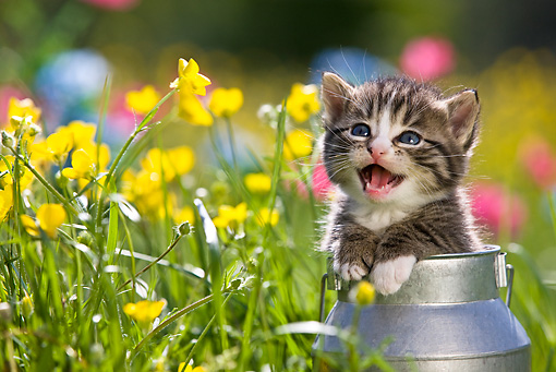 CAT 03 KH0287 01 © Kimball Stock Tabby Kitten Sitting In Tin Milk Can Meowing By Yellow Flowers