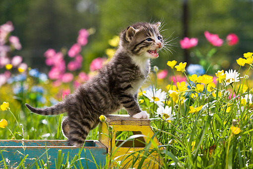 CAT 03 KH0292 01 © Kimball Stock Tabby Kitten Standing On Wooden Toy Truck In Garden