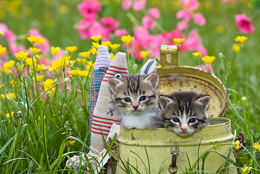 CAT 03 KH0293 01 © Kimball Stock Tabby Kittens Sitting In Old Metal Fishing Can In Garden By Paper Fish
