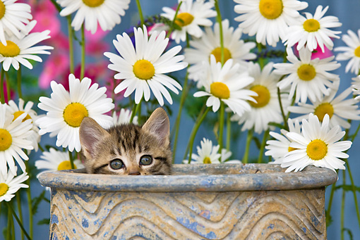 CAT 03 KH0294 01 © Kimball Stock Tabby Kitten Sitting In Flower Pot By Daisies