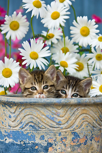 CAT 03 KH0296 01 © Kimball Stock Tabby Kittens Sitting In Flower Pot By Daisies