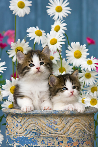 CAT 03 KH0297 01 © Kimball Stock Tabby Kittens Sitting In Flower Pot By Daisies