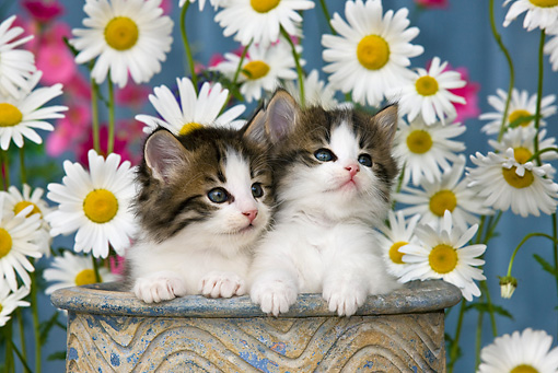 CAT 03 KH0298 01 © Kimball Stock Tabby Kittens Sitting In Flower Pot By Daisies