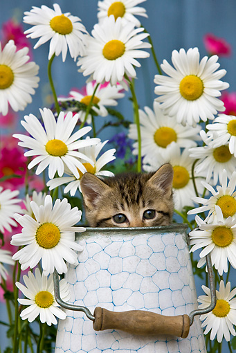CAT 03 KH0299 01 © Kimball Stock Tabby Kitten Sitting In Metal Bucket By Daisies