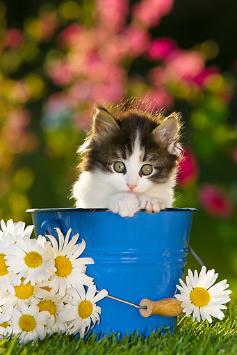 CAT 03 KH0300 01 © Kimball Stock Tabby Kitten Sitting In Blue Bucket By Daisies
