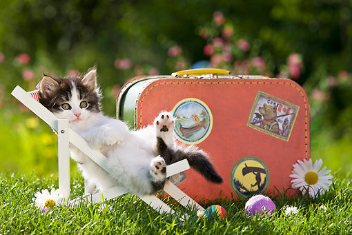 CAT 03 KH0302 01 © Kimball Stock Tabby Kitten Resting In Miniature Chair By Suitcase And Daisies