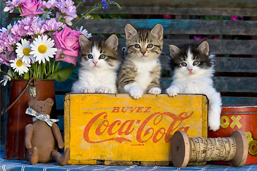 CAT 03 KH0304 01 © Kimball Stock Three Kittens Sitting In Old Coca-Cola Box By Bouquet Of Flowers