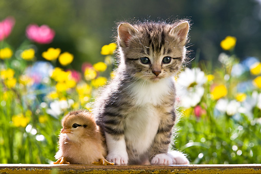 CAT 03 KH0306 01 © Kimball Stock Tabby Kitten Sitting Next To Chick In Garden