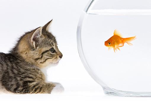 Close-Up Of Tabby Kitten Watching Goldfish On White Seamless   Kimballstock