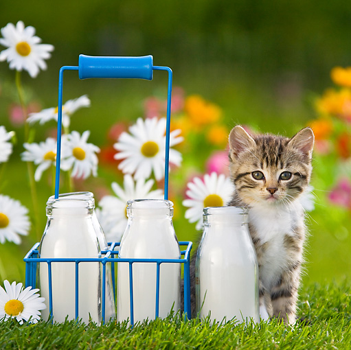 CAT 03 KH0308 01 © Kimball Stock Tabby Kitten Sitting In Garden By Milk Bottles France