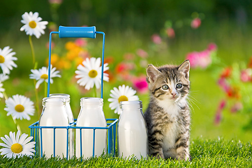 CAT 03 KH0309 01 © Kimball Stock Tabby Kitten Sitting In Garden By Milk Bottles France