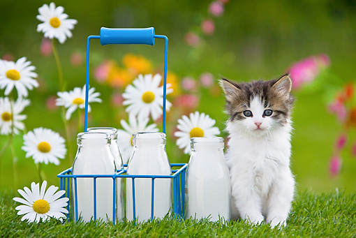 CAT 03 KH0310 01 © Kimball Stock Tabby Kitten Sitting In Garden By Milk Bottles France