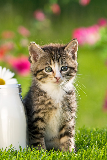 CAT 03 KH0311 01 © Kimball Stock Tabby Kitten Sitting In Garden By Milk Bottle France