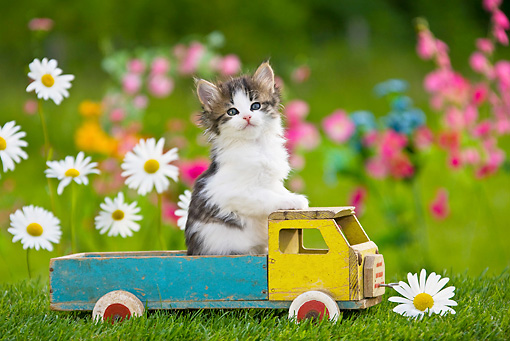 CAT 03 KH0312 01 © Kimball Stock Tabby Kitten Sitting In Old Wooden Toy Truck In Garden France