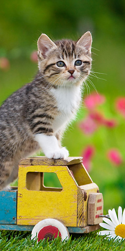 CAT 03 KH0313 01 © Kimball Stock Tabby Kitten Sitting In Old Wooden Toy Truck In Garden France