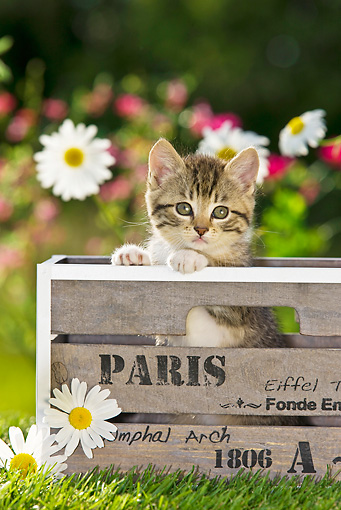 CAT 03 KH0314 01 © Kimball Stock Tabby Kitten Sitting In Wooden Crate In Garden France
