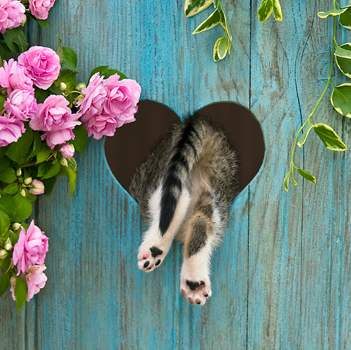 CAT 03 KH0319 01 © Kimball Stock Tabby Kitten Climbing Through Heart Cutout In Fence By Pink Impatiens
