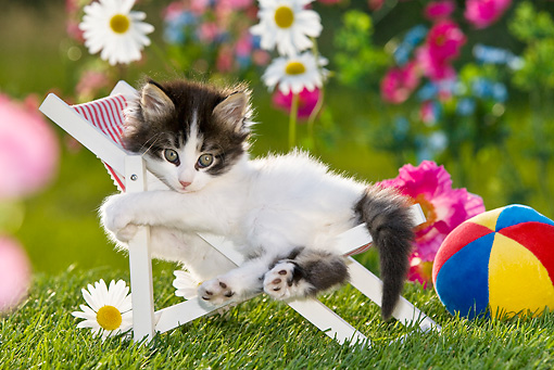CAT 03 KH0321 01 © Kimball Stock Tabby Kitten Laying In Deck Chair In Garden With Toy Ball