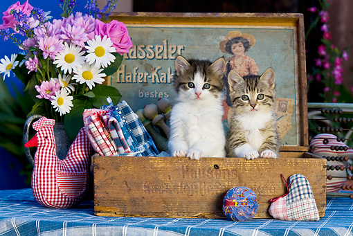 CAT 03 KH0324 01 © Kimball Stock Two Tabby Kittens Sitting In Old Wooden Box With Fabric