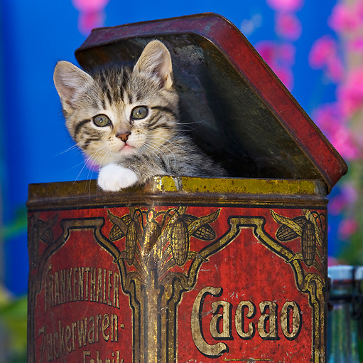 CAT 03 KH0327 01 © Kimball Stock Close-Up Of Tabby Kitten Sitting In Old Cocoa Tin