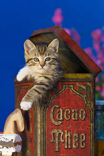 CAT 03 KH0328 01 © Kimball Stock Tabby Kitten Sitting In Old Cocoa Tin