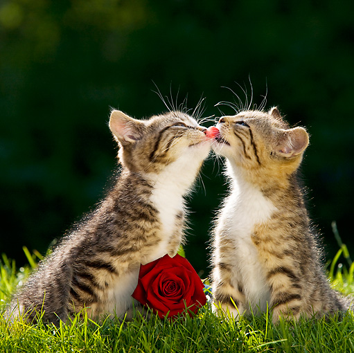 CAT 03 KH0331 01 © Kimball Stock Two Tabby Kittens Sitting On Grass Kissing By Red Rose