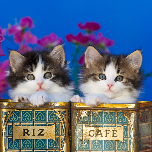 CAT 03 KH0332 01 © Kimball Stock Two Tabby Kittens Sitting In Old Rice And Coffee Tins