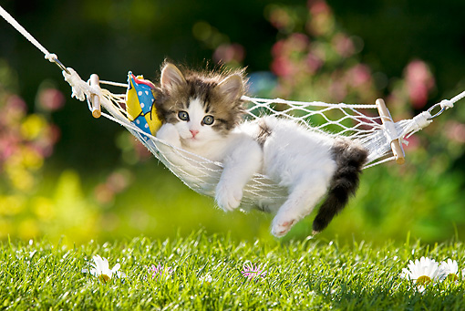 CAT 03 KH0337 01 © Kimball Stock Tabby Kitten Relaxing On Hammock