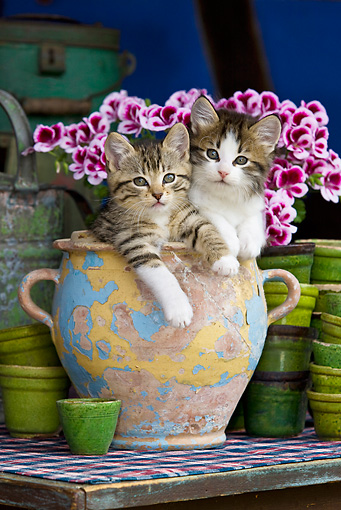 CAT 03 KH0343 01 © Kimball Stock Two Tabby Kittens Sitting In Chipped Ceramic Pot By Pink Flowers