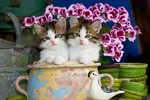 CAT 03 KH0344 01 © Kimball Stock Two Tabby Kittens Sitting In Chipped Ceramic Pot By Pink Flowers